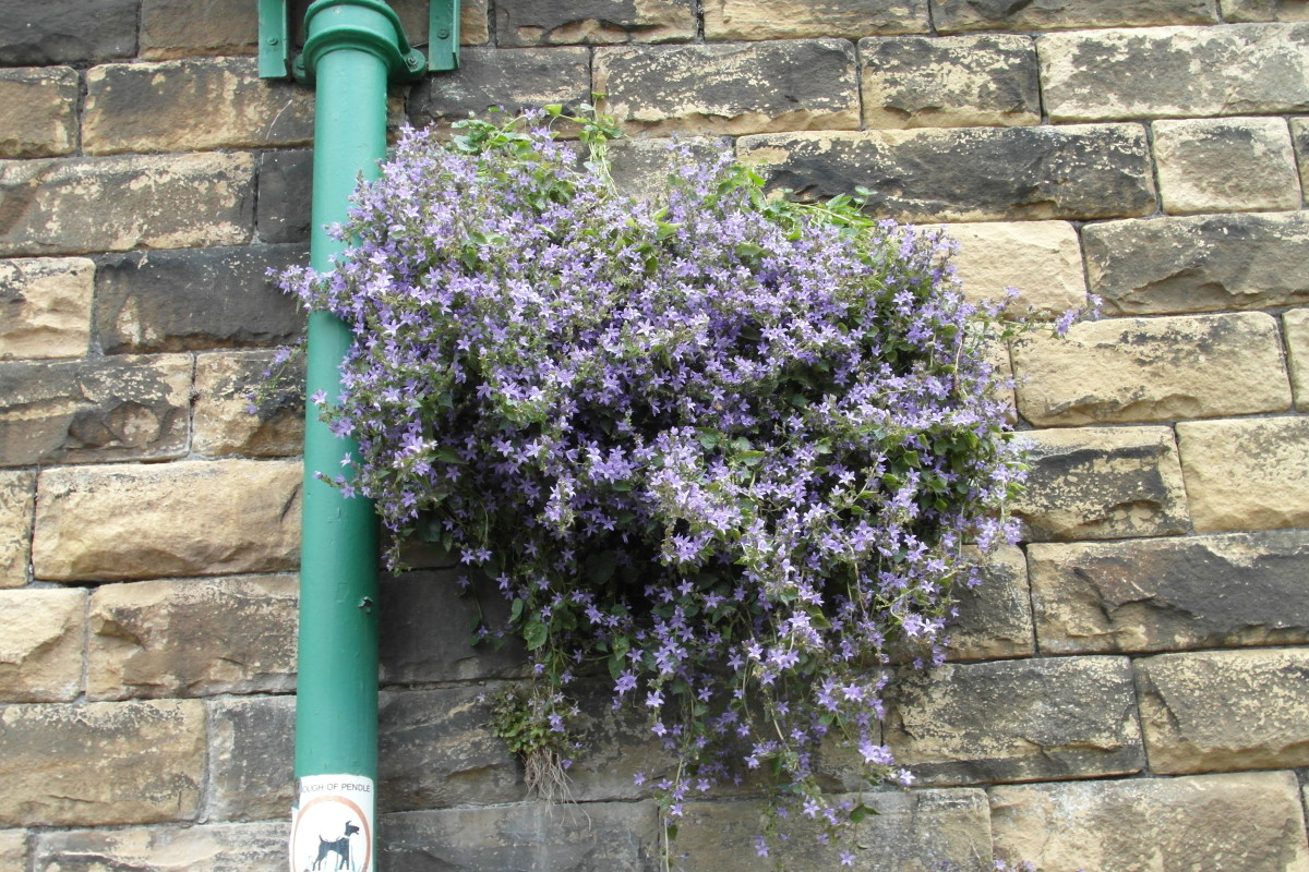 Campanula growing in a factory wall makes a stunning display