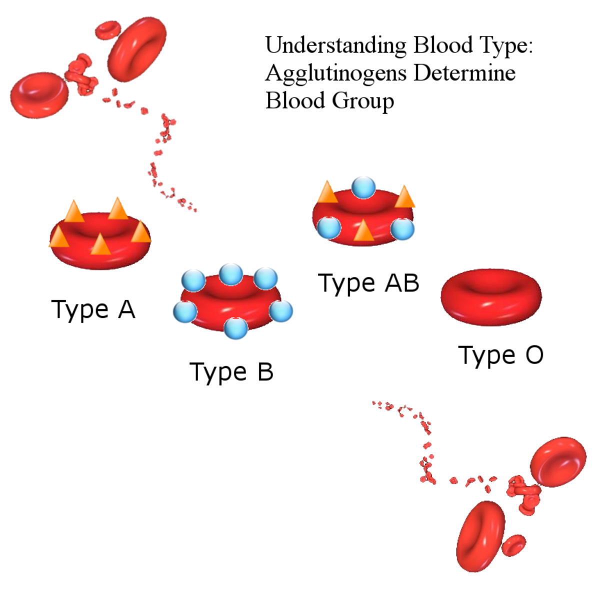 Blood type is determined by sugar-based antigens on the red blood cell surface. Those with type O blood do not have any antigens at all.