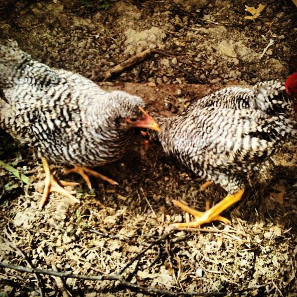 Juno and Hera are 9 week old Plymouth Barred Rock Pullets