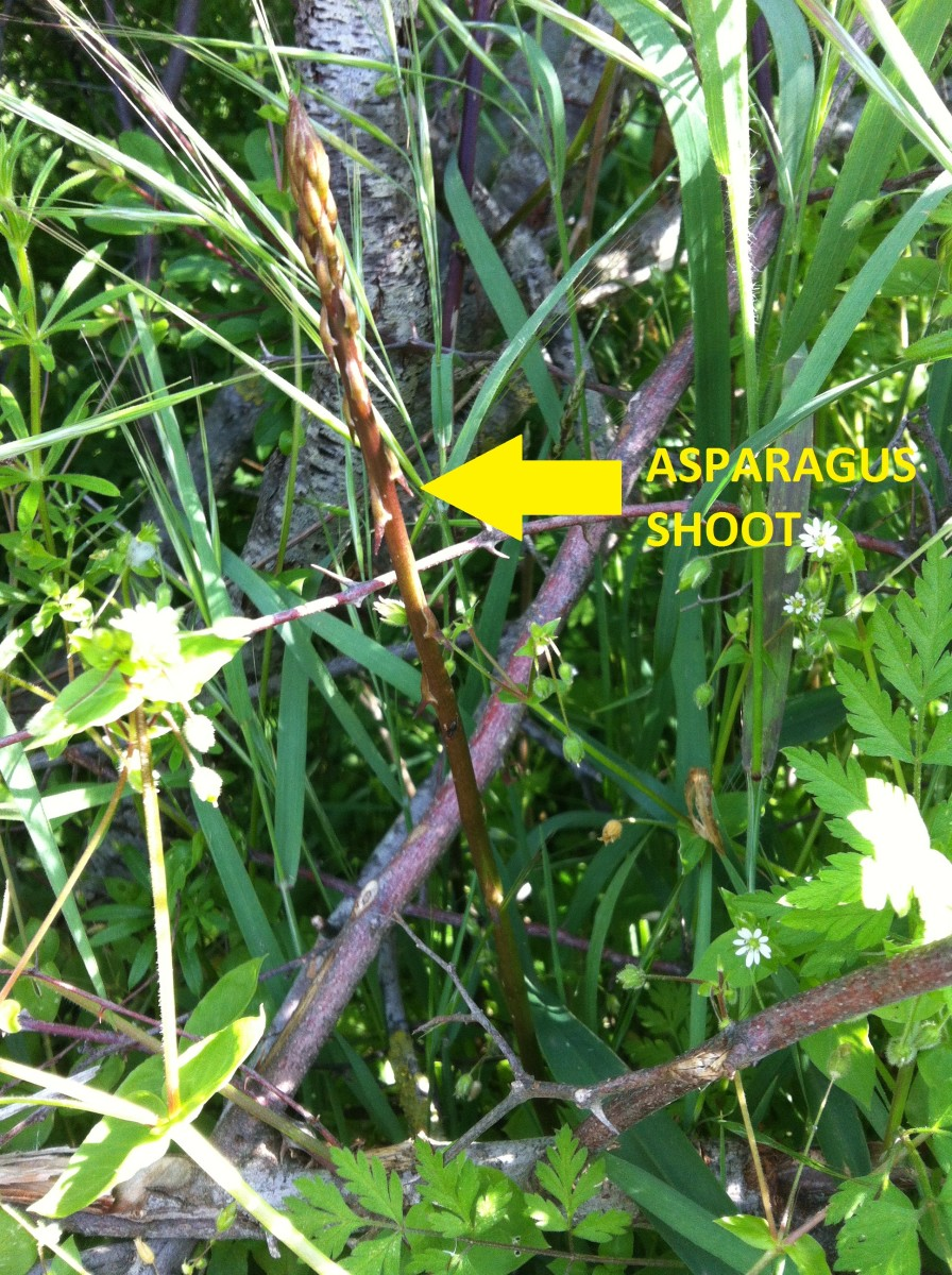 What does wild asparagus look like