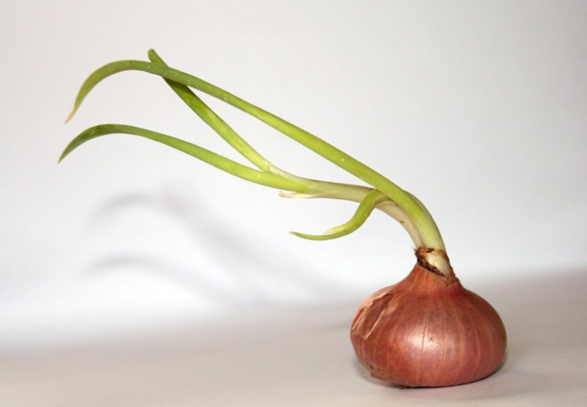 An onion with shoots.