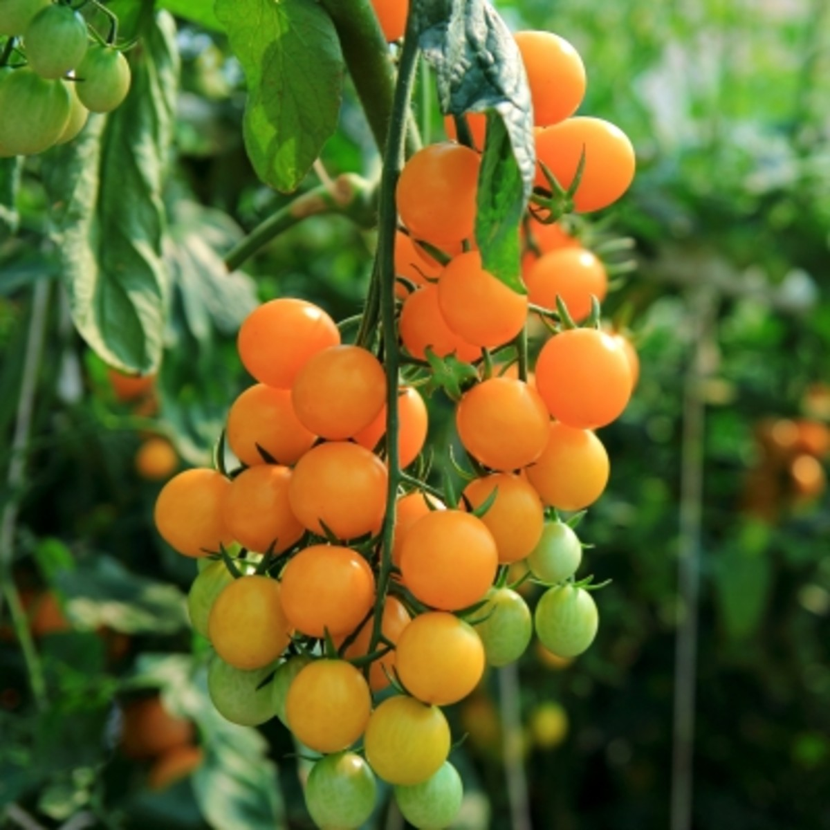 Organic cherry tomatoes are expensive to buy at the store. By growing your own, you can save money.