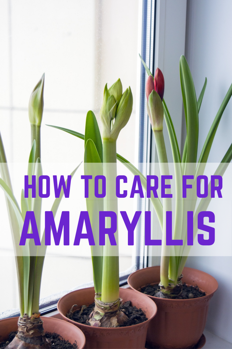 How to Care for and Re-bloom a Potted Amaryllis