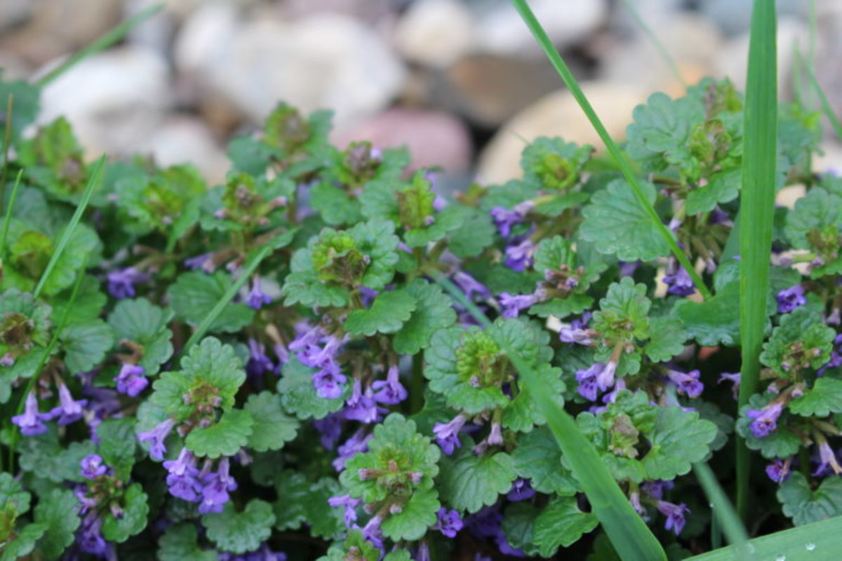 How to Get Rid of Creeping Charlie Ground Ivy