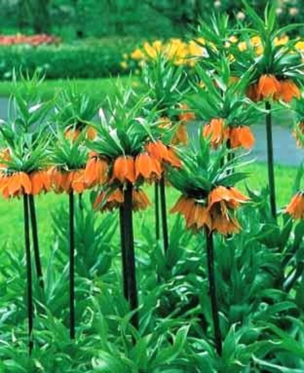How to Grow Crown Imperials (Fritillaria imperialis)