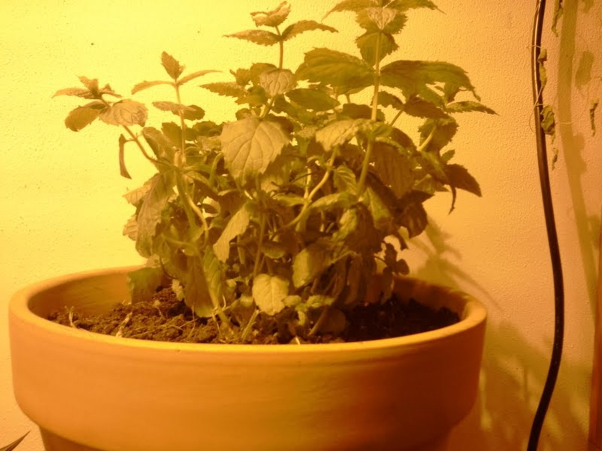 Mint being grown under a high-pressure sodium grow lamp.