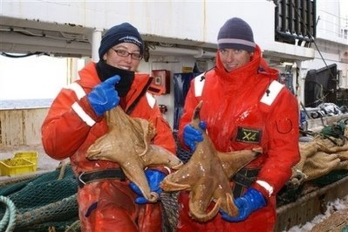 Marine biologists holding up two eight pound specimens of Macroptychaster accrescens.