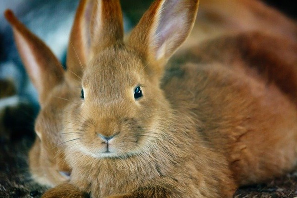 Rabbits shed their coat too like cats and dogs.