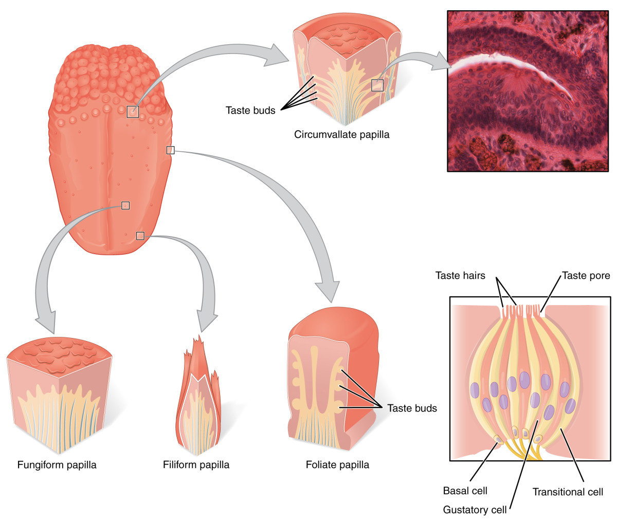Diagram of human tongue anatomy—including various types of papillae and the taste bud.