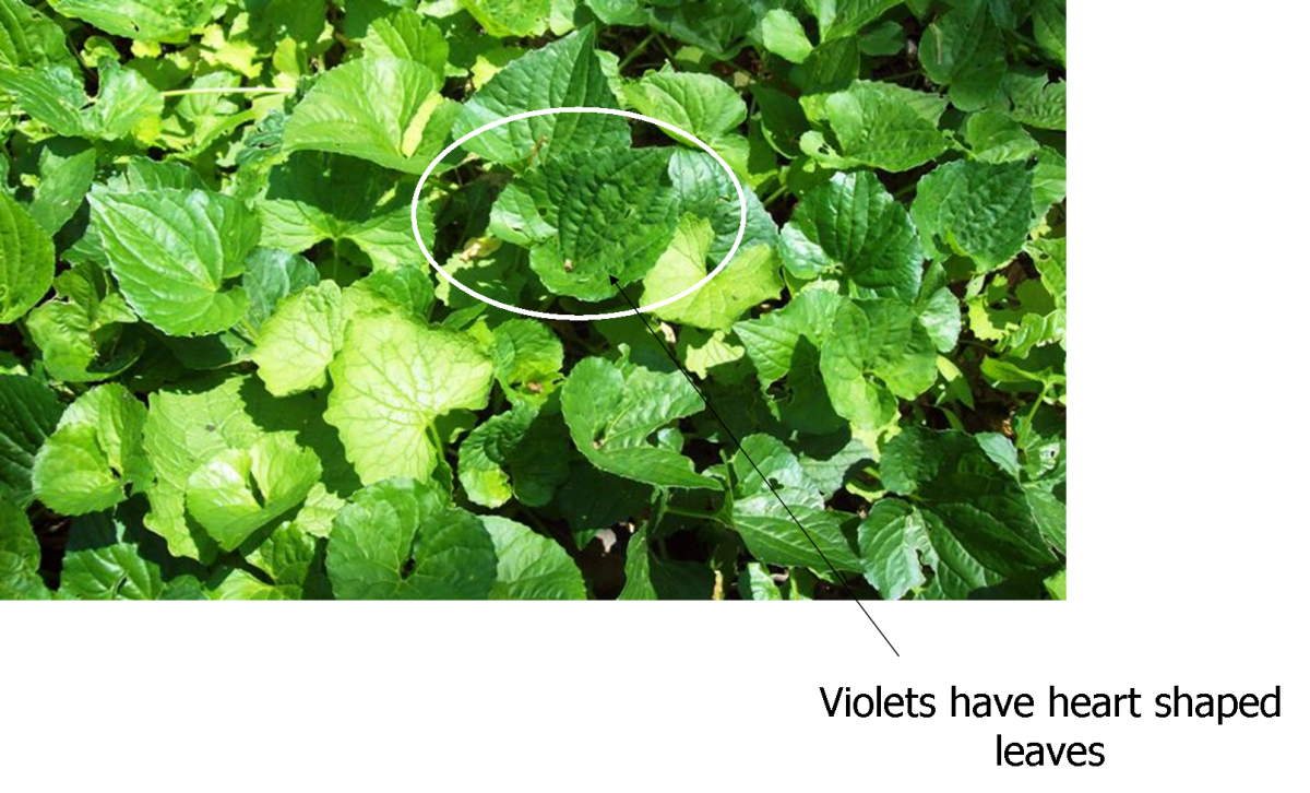 Make a Salad With Edible Weeds in Your Yard Plus a Vinaigrette