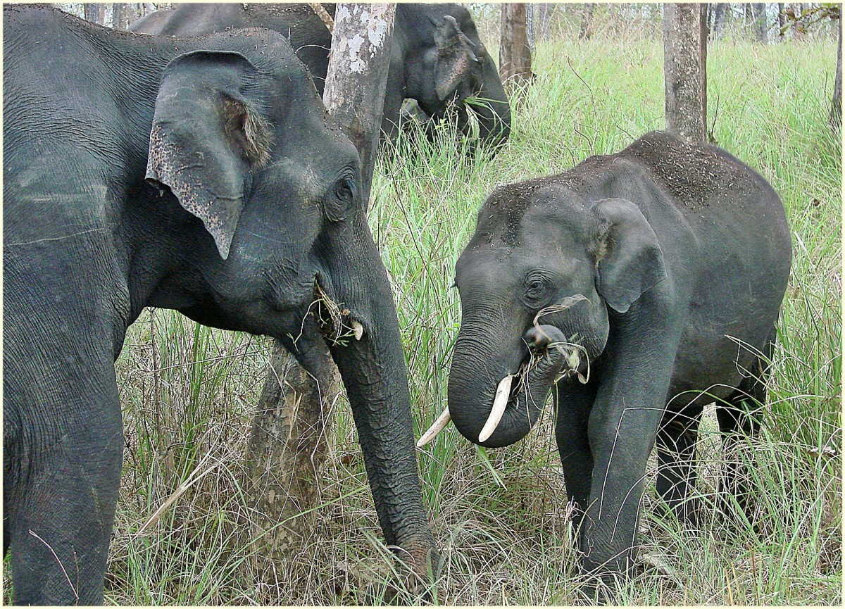 Asian Elephants are the most endangered elephants.