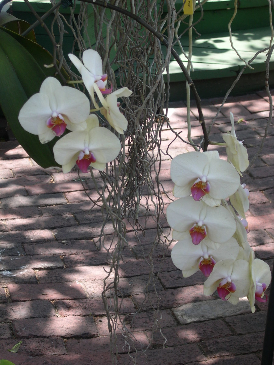 How To Graft A Phalaenopsis Orchid To A Tree Dengarden