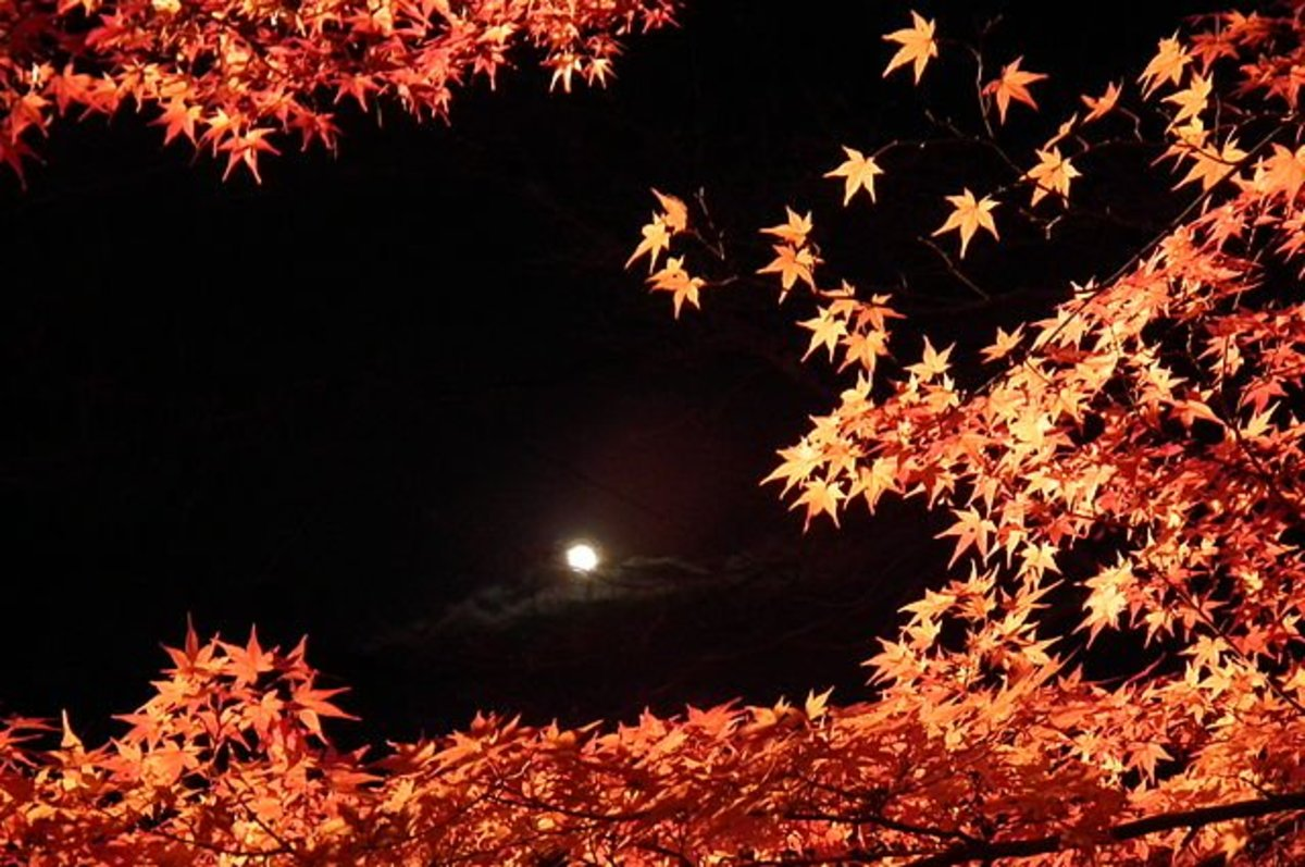 Illuminated maple leaves at the Nison-in temple complex in Kyoto, Japan.