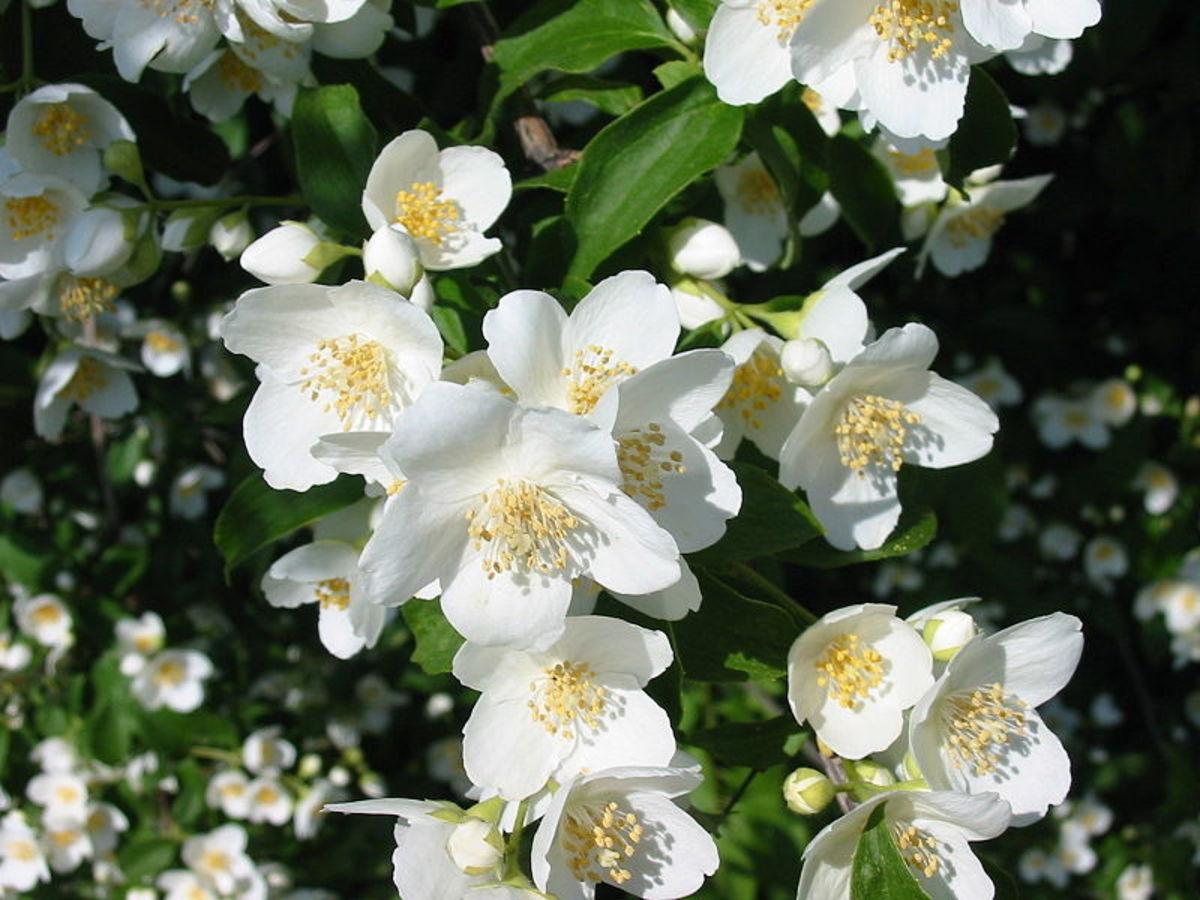 How to grow jasmine flowers hubpages izmirmasajfo