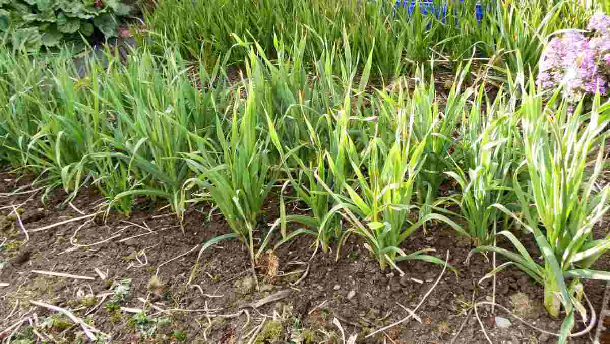 3 year old leeks (Musselborough variety) showing their offshoots