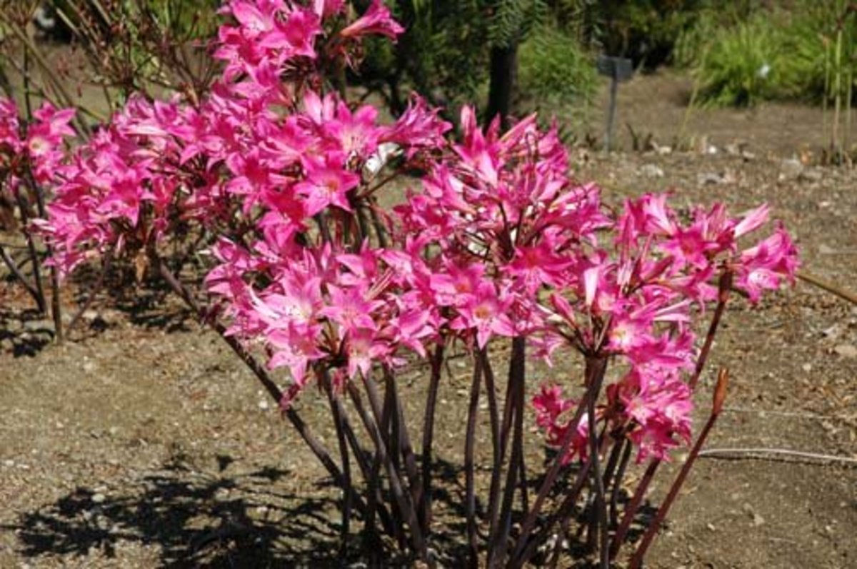 How to Grow Naked Lady or Amaryllis Belladonna