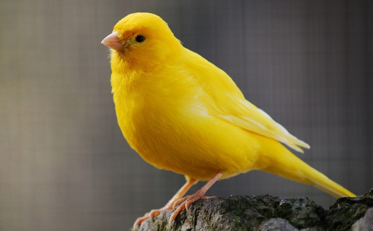 Read up on canary diseases so that you can recognize symptoms in your pet early.