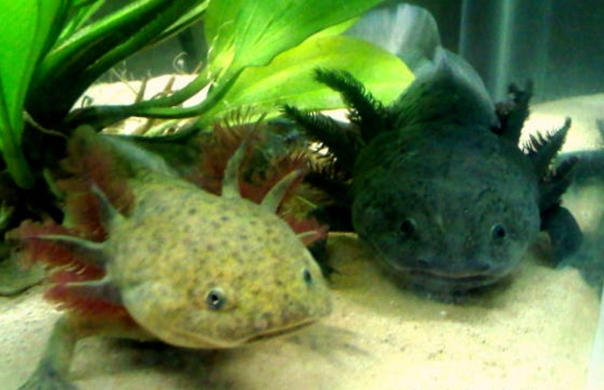 Axolotls are becoming more popular pets, especially since people started breeding a range of colors.