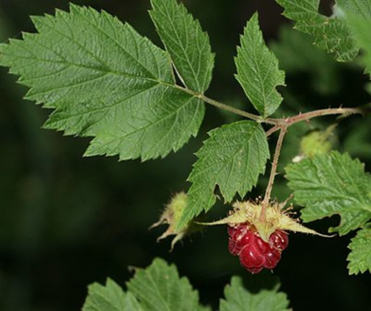 Red Raspberry Leaf Tea to Improve Fertility