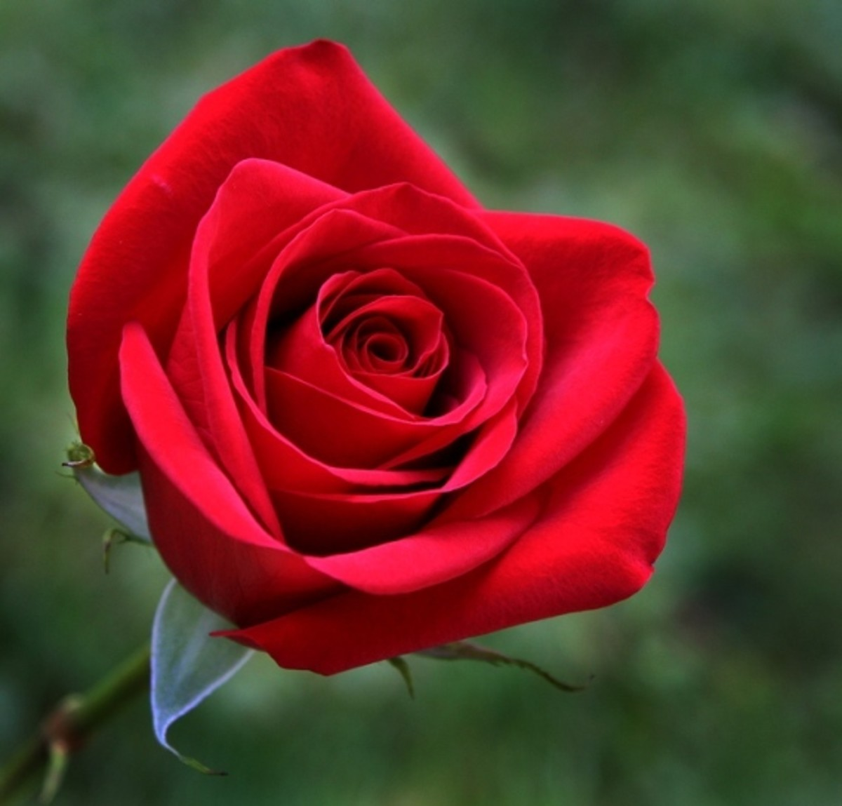 Love is often symbolised by a red rose.