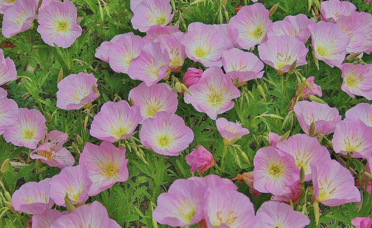 """This patch of primrose started on its own, """"jumping"""" from a stacked container garden into a nearby flowerbed."""
