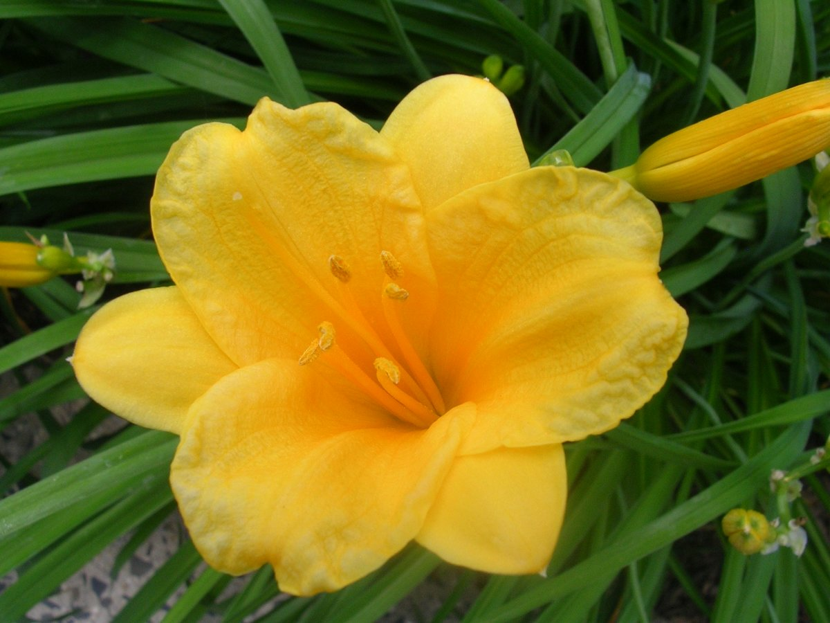The golden, glorious Stella de Oro daylily.