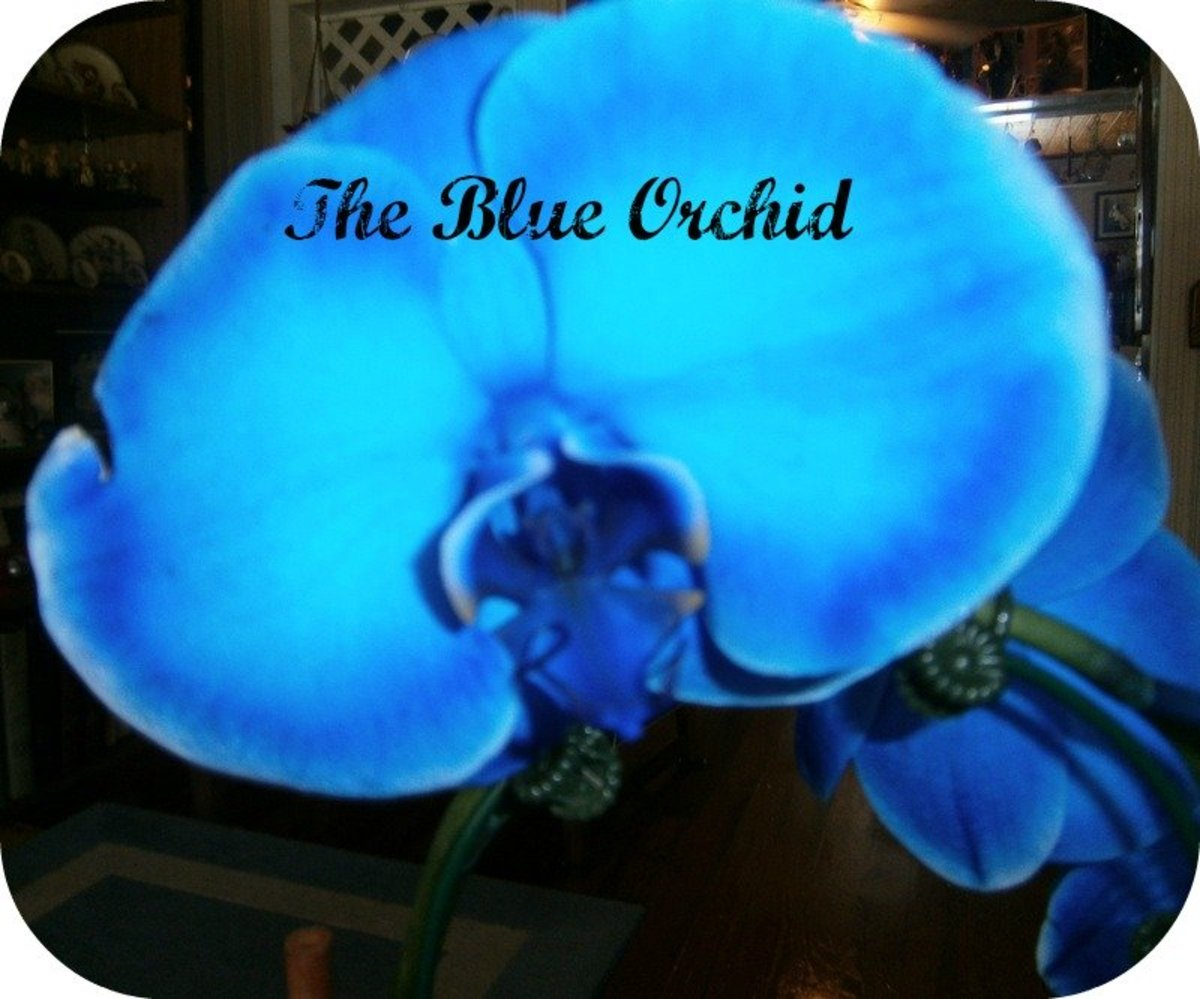 Growing and caring for the rare blue mystique orchid dengarden izmirmasajfo