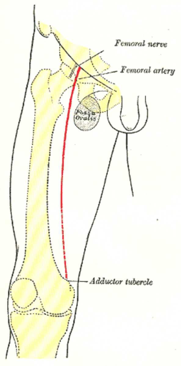 In a femoral nerve block, numbing medicine is injected around the femoral nerve at the top of the leg. The front of the leg down to the knee is numbed since this area is innervated by the femoral nerve.