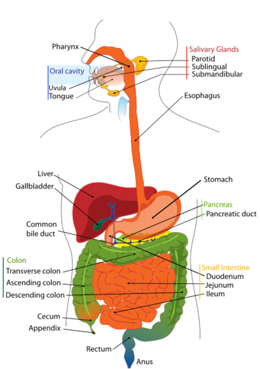 Benefits of Digestive Enzyme Supplements
