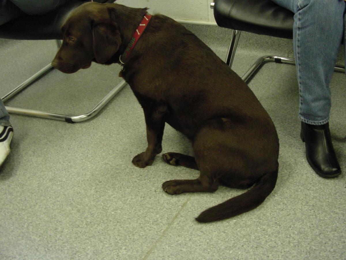 Dog with cruciate ligament injury sitting awkwardly