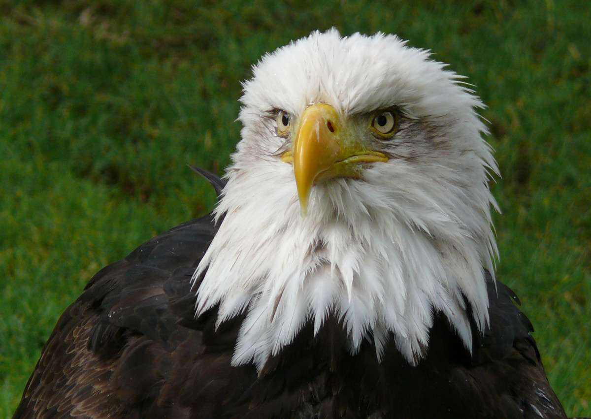Up close with a bald eagle