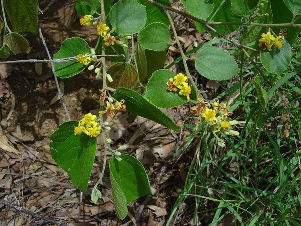 Phalsa tree leaves and flowers.