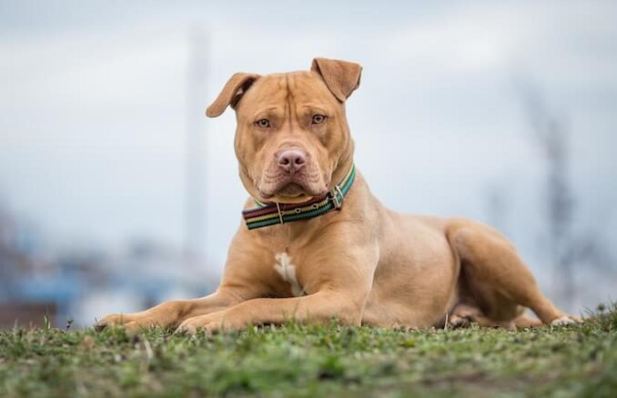 8 Aggressive Dog Breeds You Should Not Mess With
