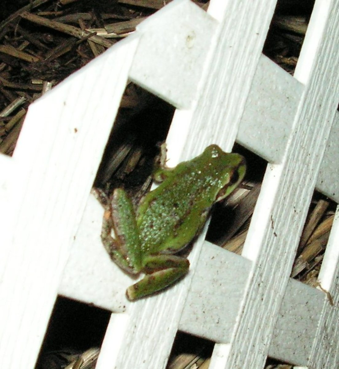 A small frog on one of our garden bed fences. We love having them in the garden.