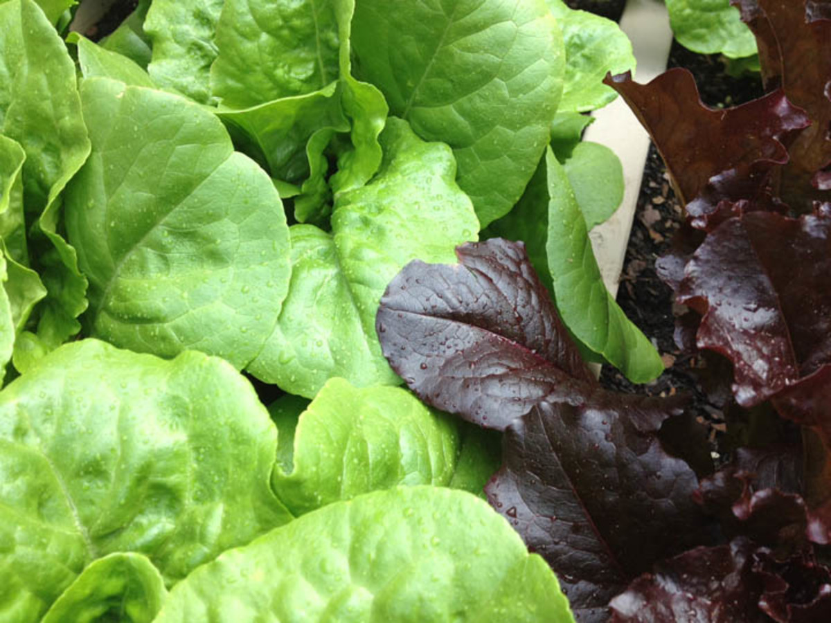 A How To Guide: Constructing A Lettuce Bench For Nearly Year Round Salad Greens.