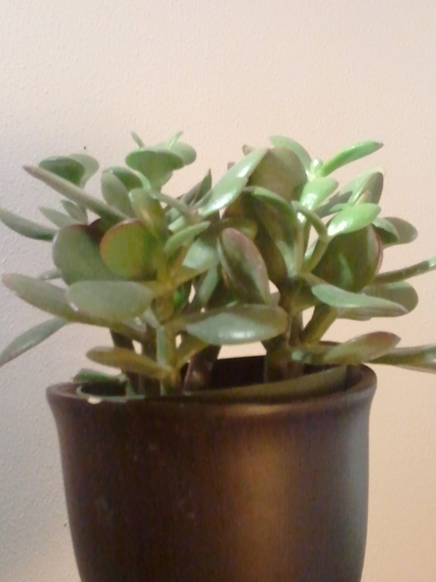 Several small jade plants in a single container.