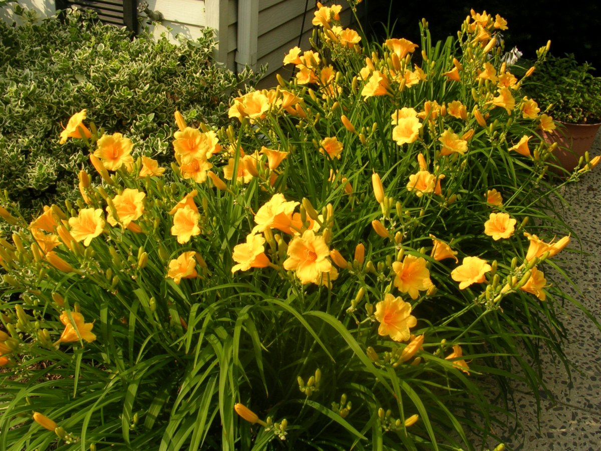 Stella de Oro daylilies at the peak of their spring bloom. They will continue to bloom all season long. Should we be eating them?