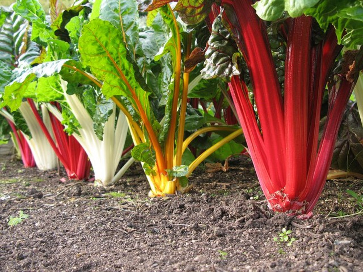 Rainbow Swiss Chard Spacing keeps down fungus potential