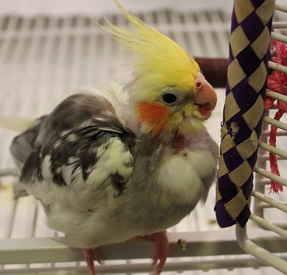 Buzzy, the author's rescued cockatiel. (notice that the cage door is open)