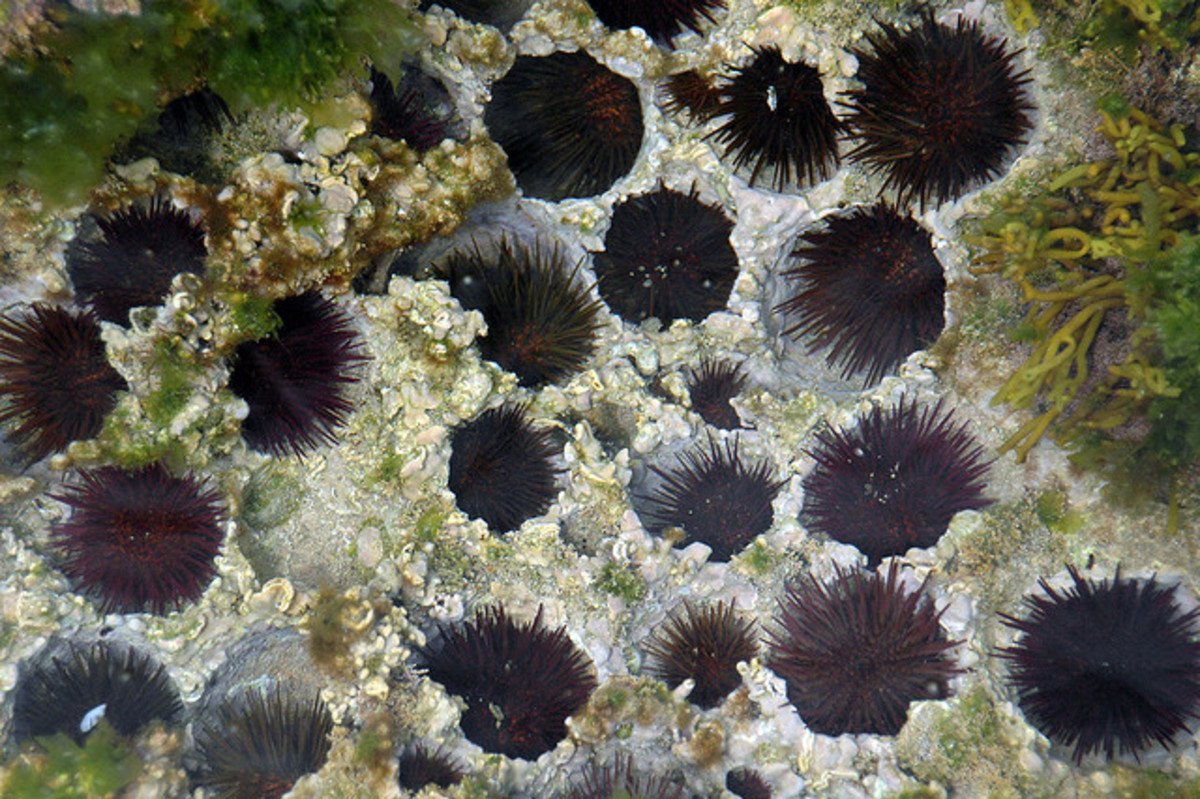 How to Get Sea Urchin Spines Out and Treat Stings