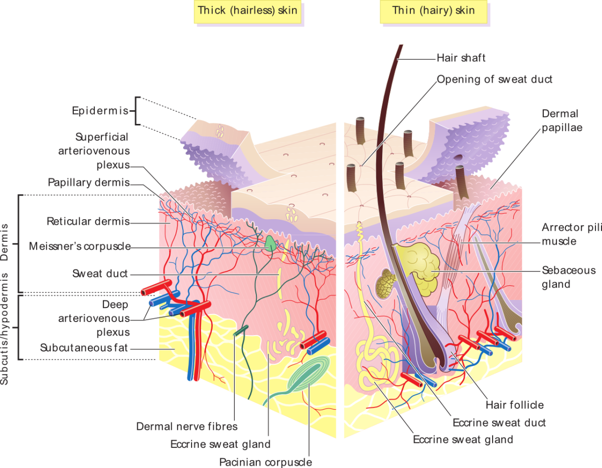 Human Skin: Structure, Functions, and Interesting Facts