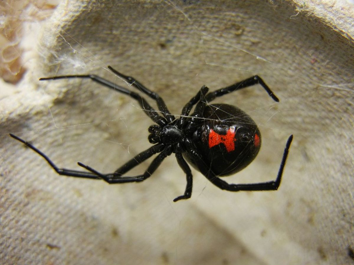 Poisonous Spiders in North Carolina | Owlcation