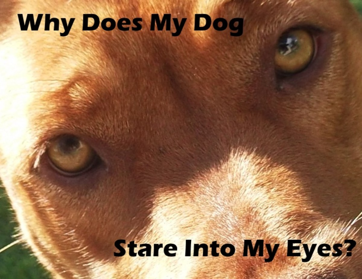 Why does my dog stare into my eyes?
