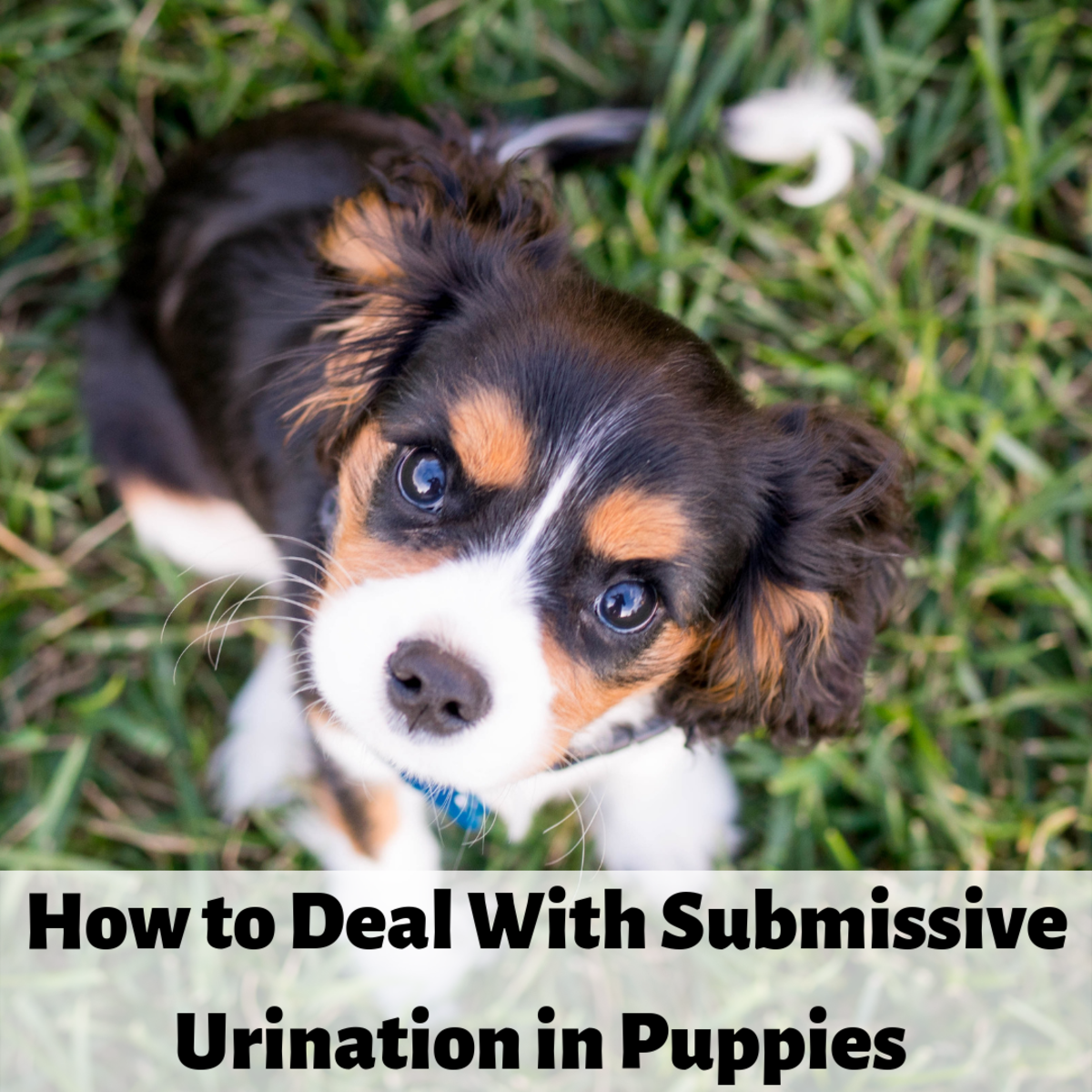 Submissive urination is common in young puppies.