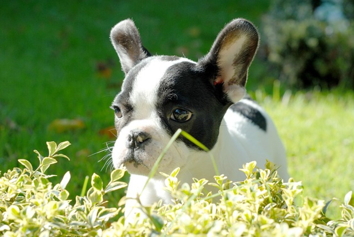 Frenchie puppies need bonding.