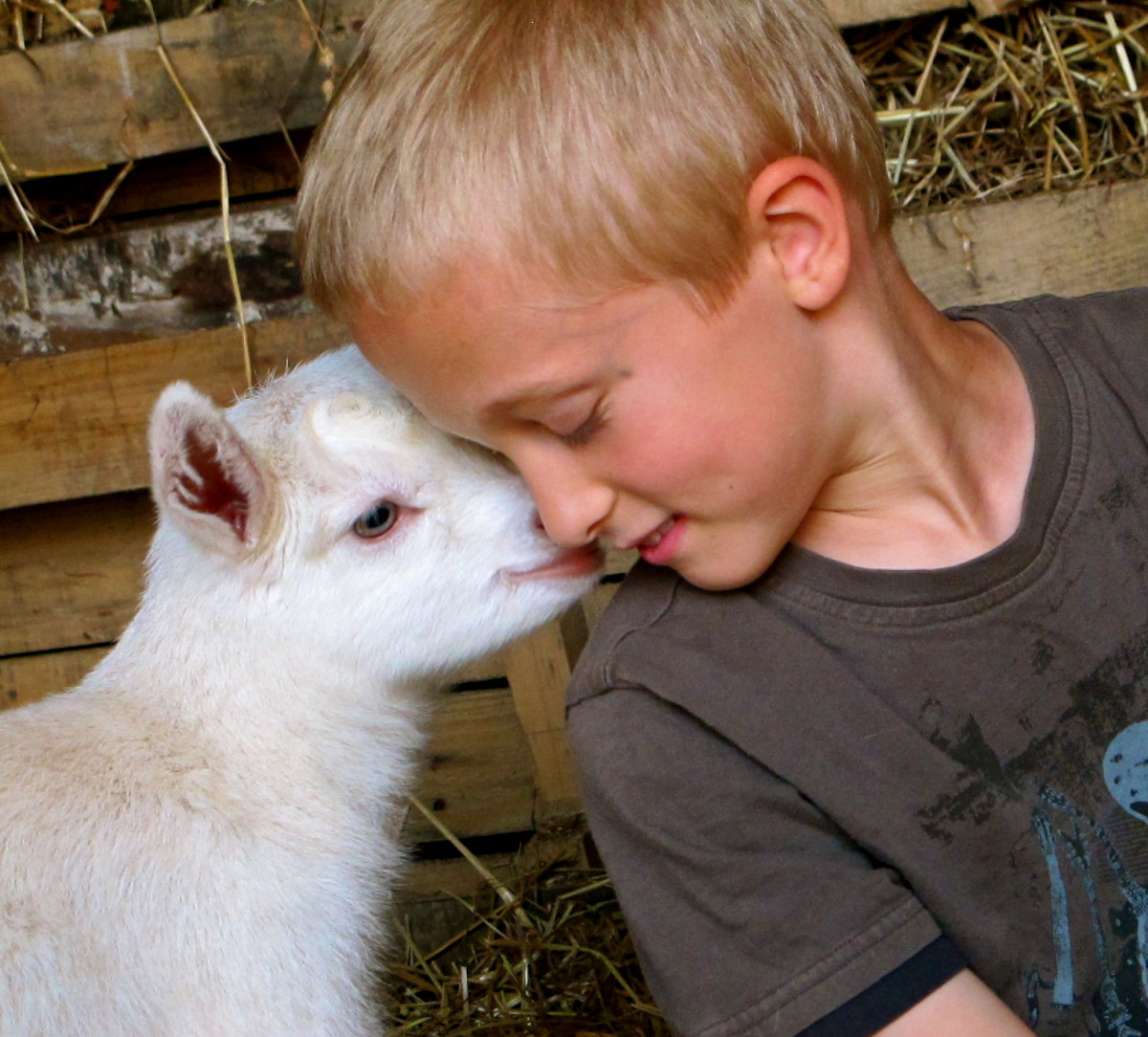 Raising Goats: Breeding and Kidding