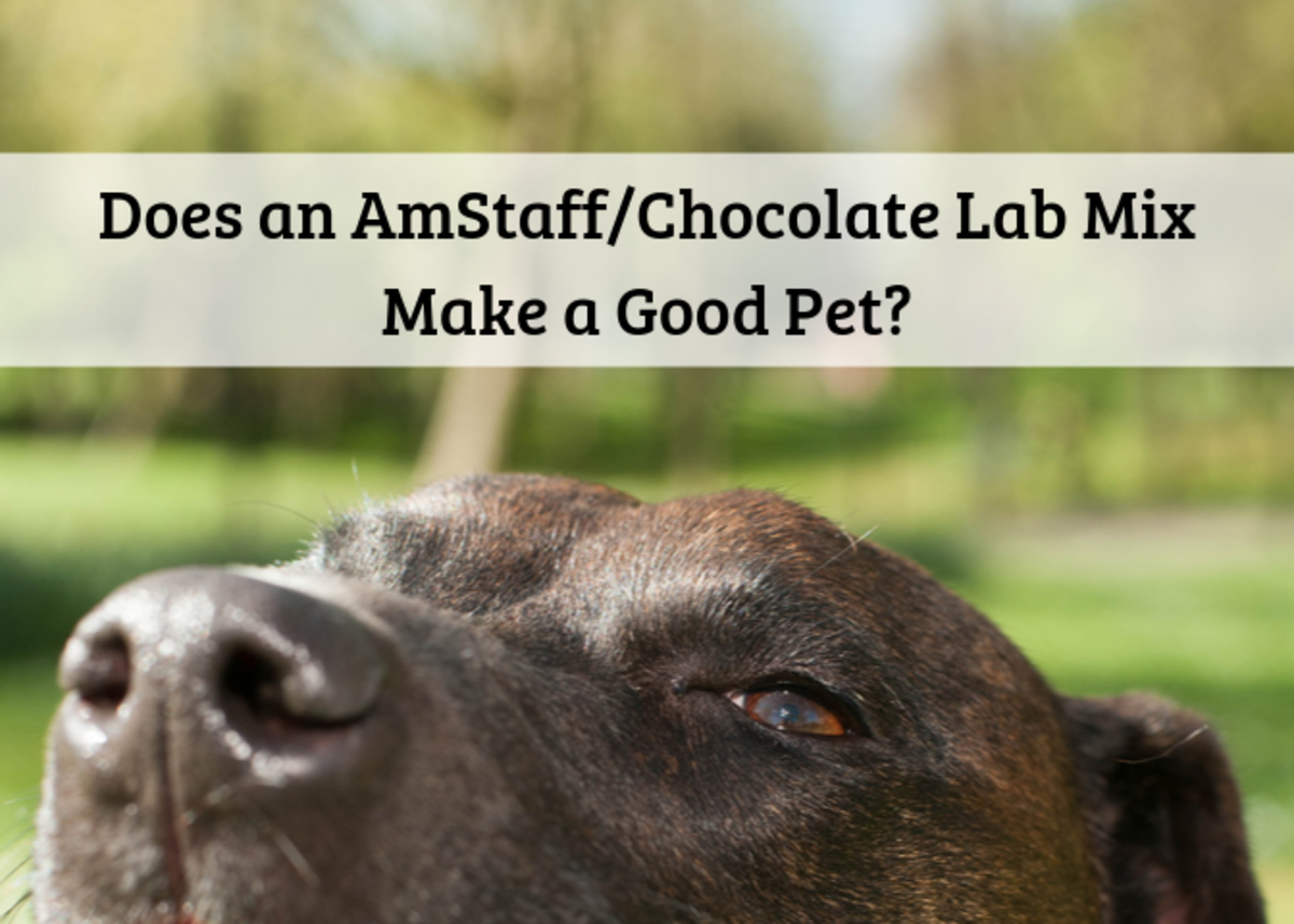 Are American Staffordshire Terrier/Lab Mixes Good Pets?