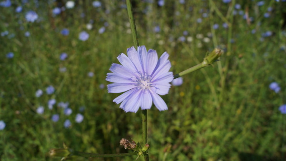 Five Useful Weeds:  Beautiful and Edible