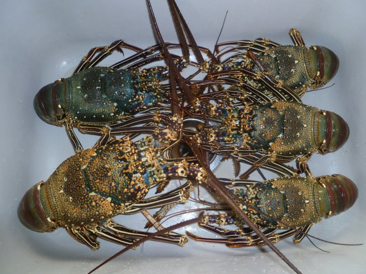 A Pod of Lobsters Linking Up on Hubpages