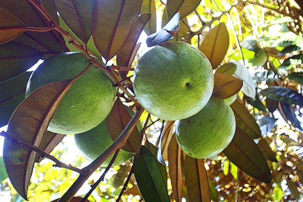 Tropical Taste of Hawaii: The Star Apple